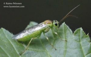Pteronidea (Nematus) sp. 3