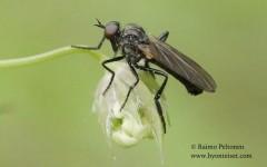Rhamphomyia trilineata