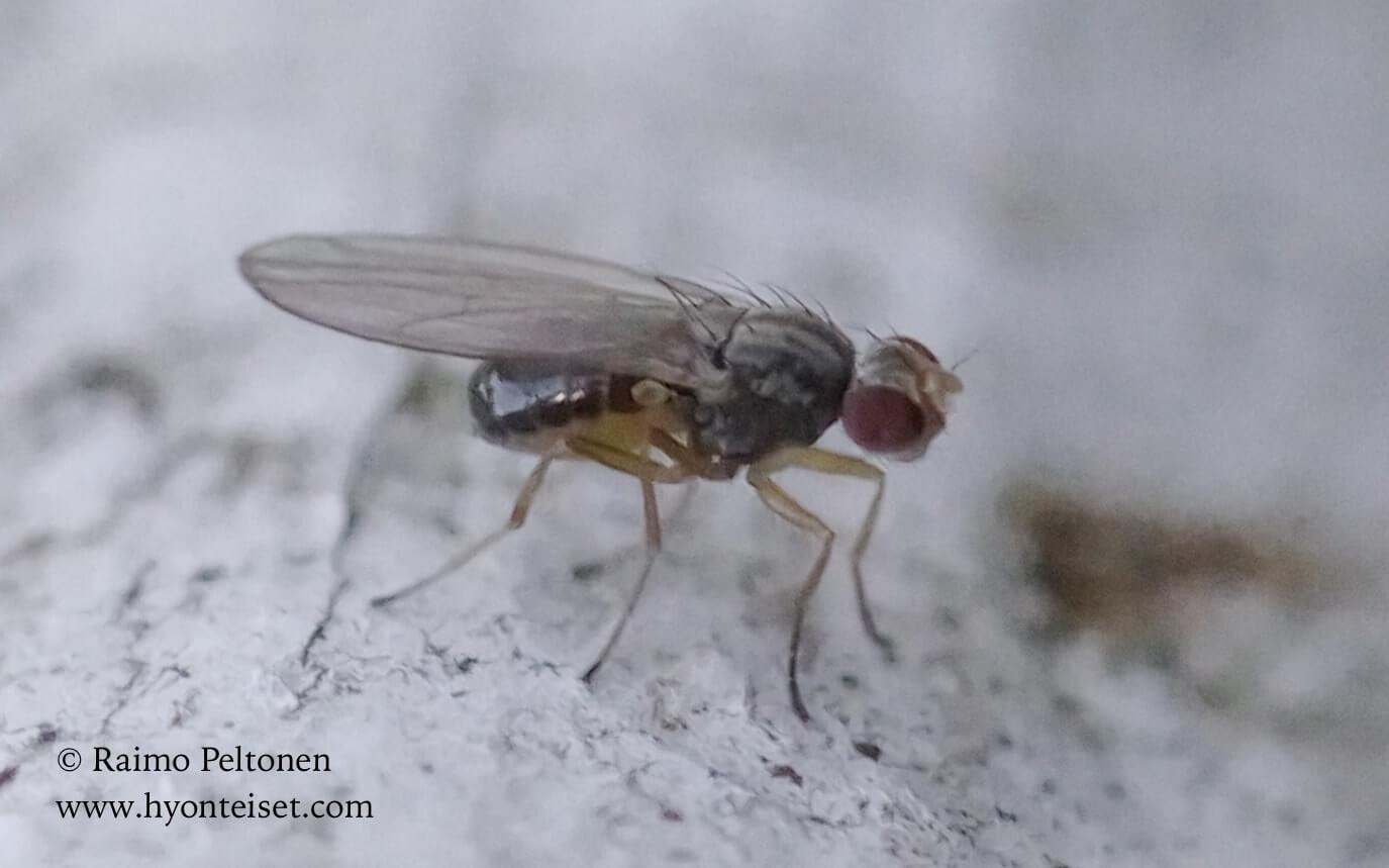 Scaptomyza pallida (det. Tony Irwin)
