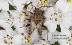 Stictopleurus cf. crassicornis