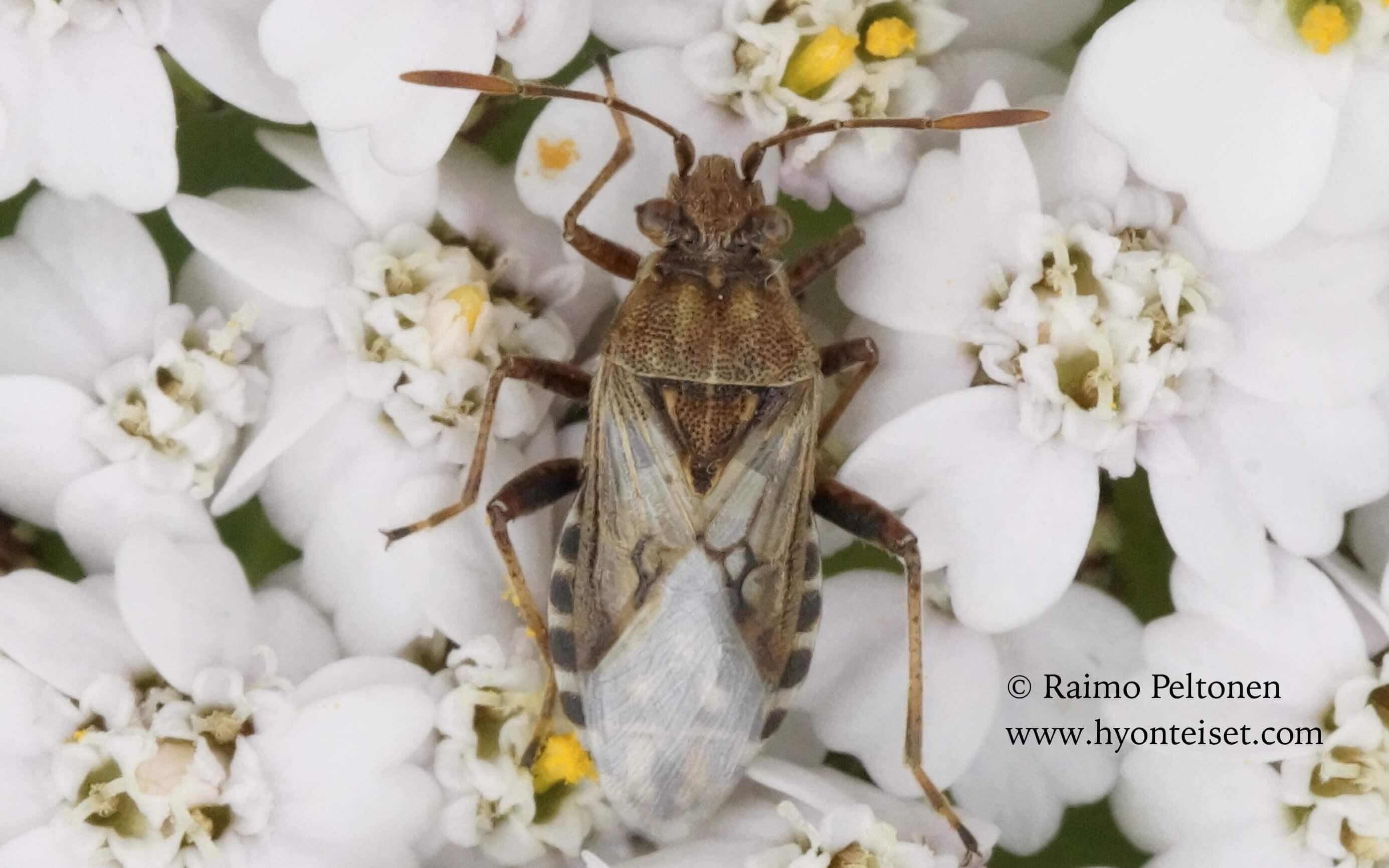 Stictopleurus cf. crassicornis-ruostekoukorolude (det. Veikko Rinne)