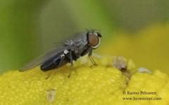 Ditrichophora palliditarsis 2