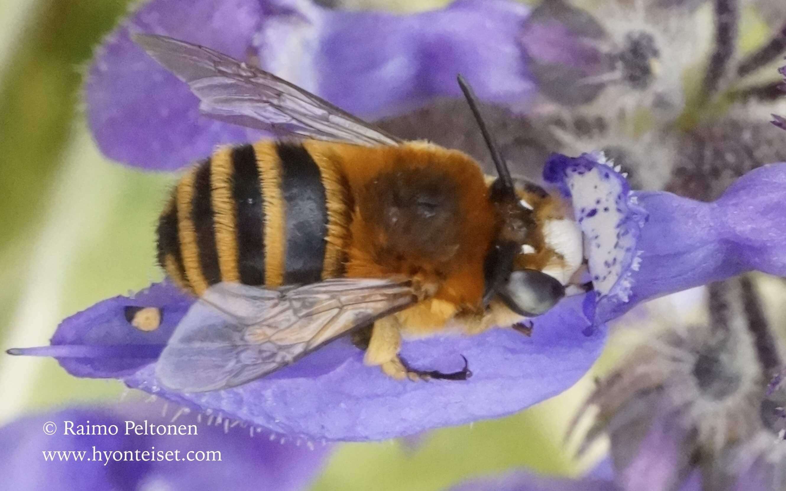 Amegilla maderae (Apidae) (det. Marc Török), 16.4.2016 MADEIRA