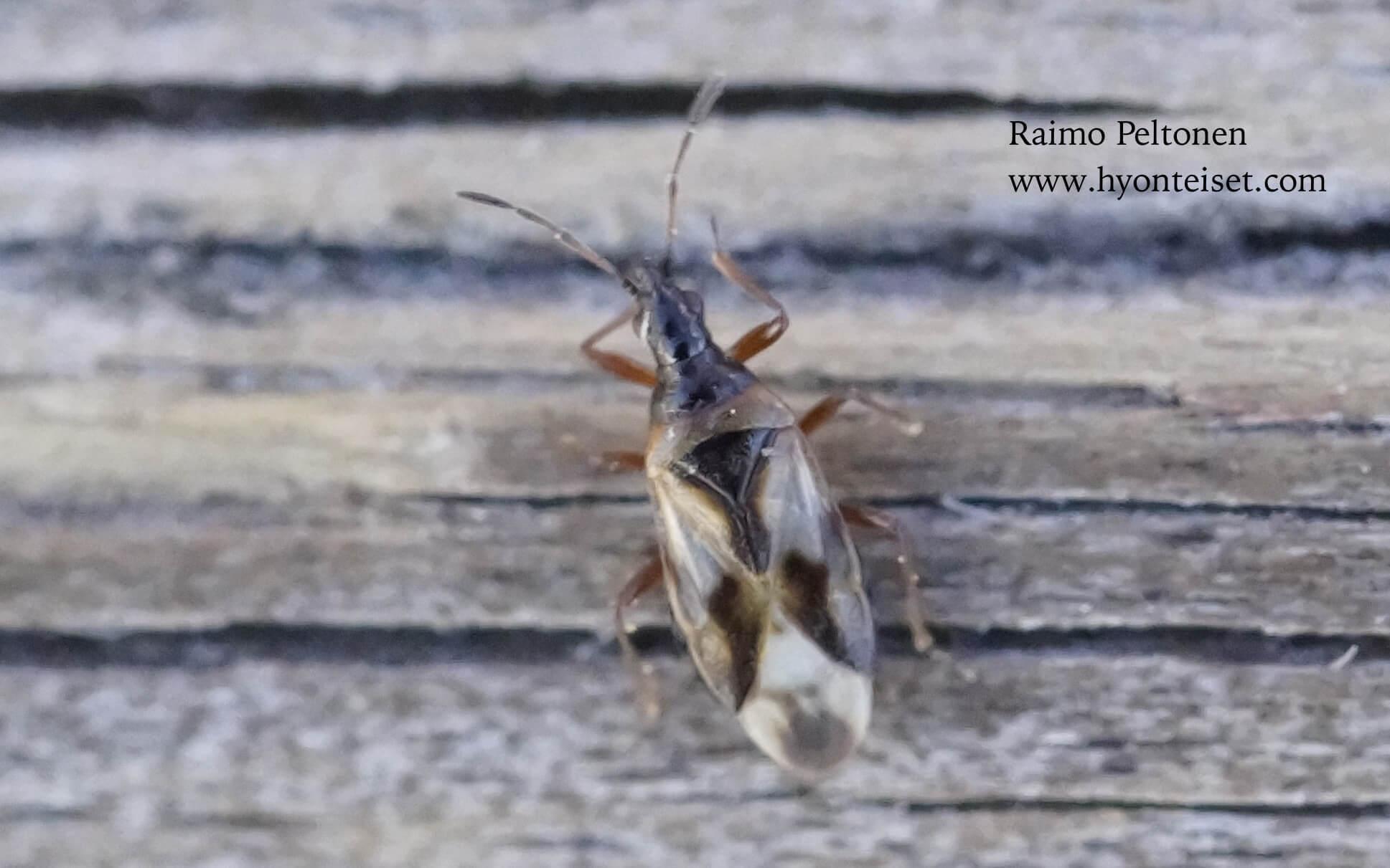 Anthocoris limbatus-pajukkonokkalude