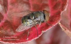 Chrysomyia sp.