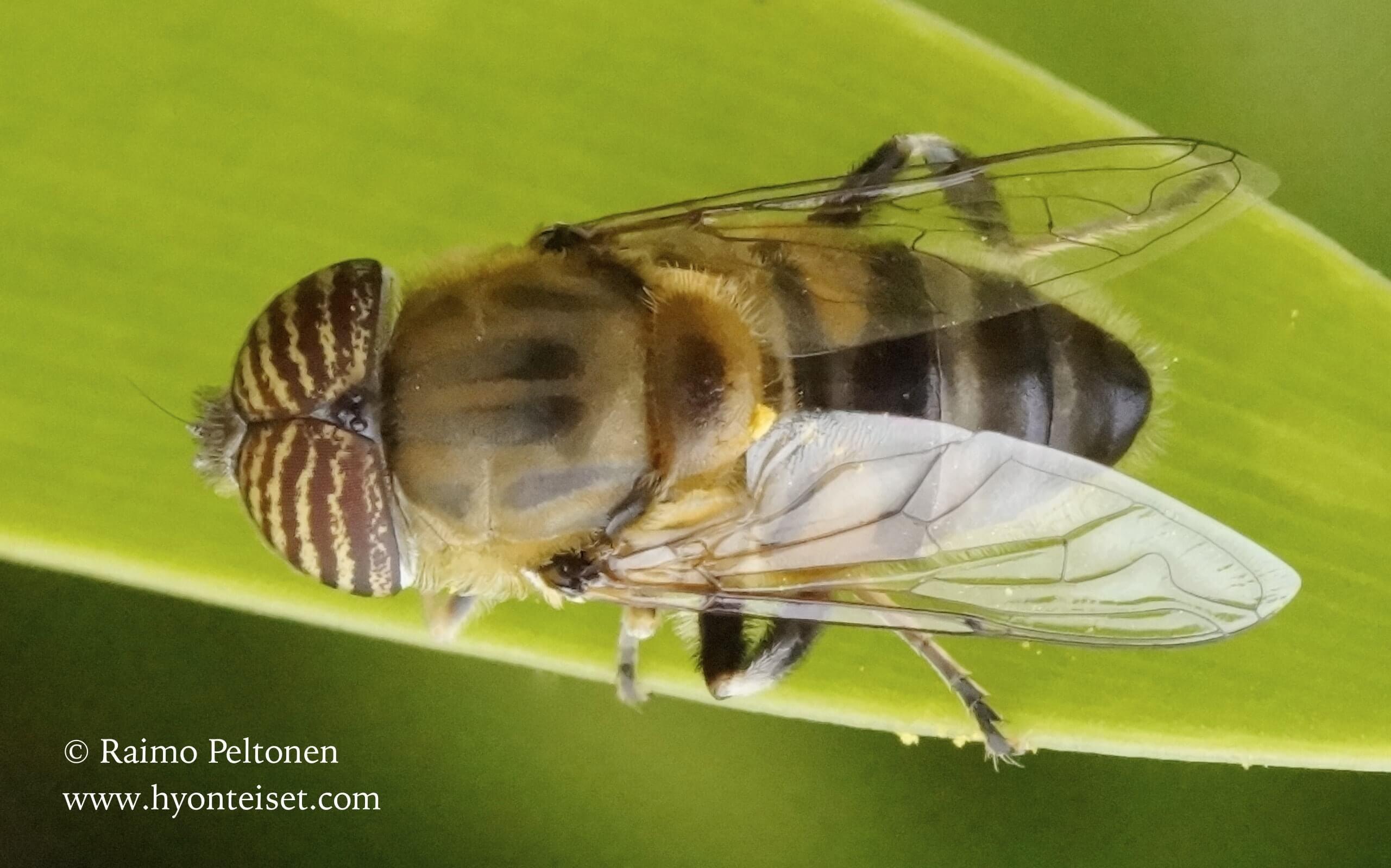 Eristalinus taeniops (Syrphidae), 16.4.2016 MADEIRA