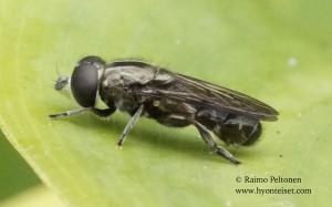 Eumerus hispidus 2