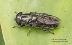 Eumerus hispidus 1