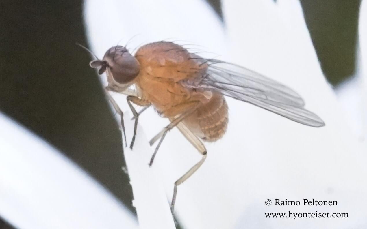 Lauxaniidae sp. (det. John Carr), 30.11.2015 GRAN CANARIA