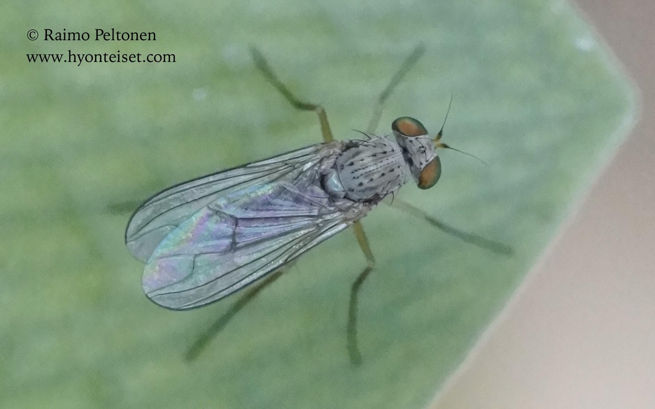 Sciapus sp. (Dolichopodidae) (det.  John Carr), 15.4.2016 MADEIRA
