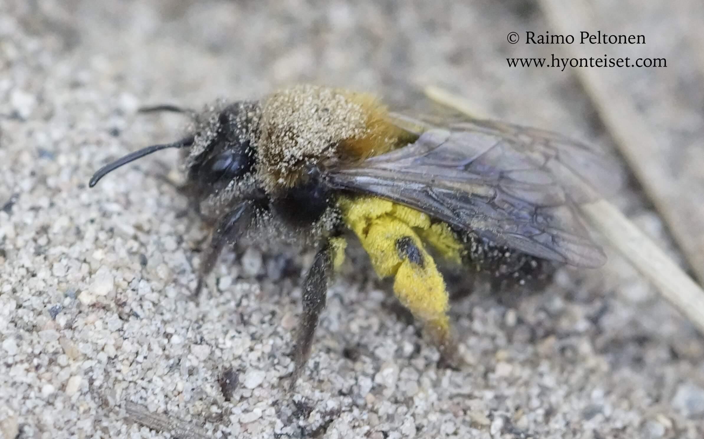 Andrena clarkella-raitamaamehiläinen, naaras (det. Juho Paukkunen), 12.5.2016 Jyväskylä
