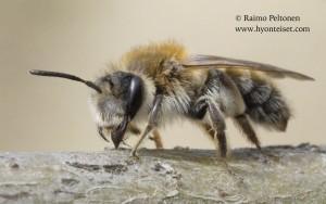 Andrena praecox 5