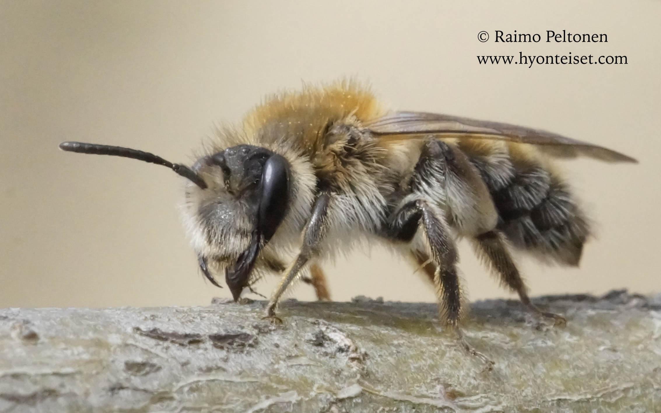 Andrena praecox-hammasmaamehiläinen, naaras, 7.5.2016 Jyväskylä