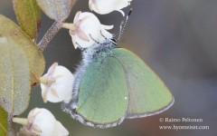 Callophrys rubi 1