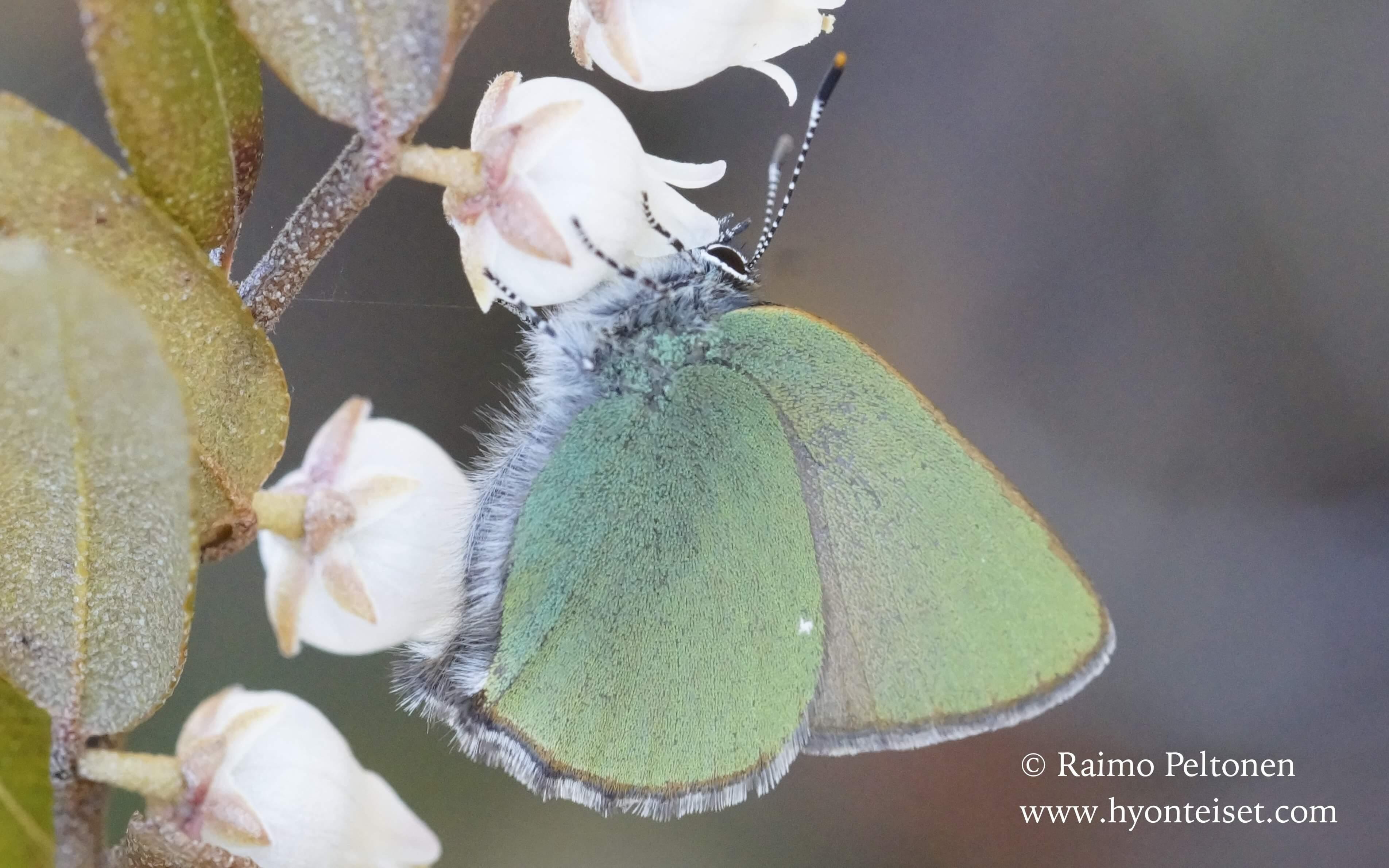 Callophrys rubi-kangasperhonen l. vihernopsasiipi, 6.5.2016 Patvinsuo