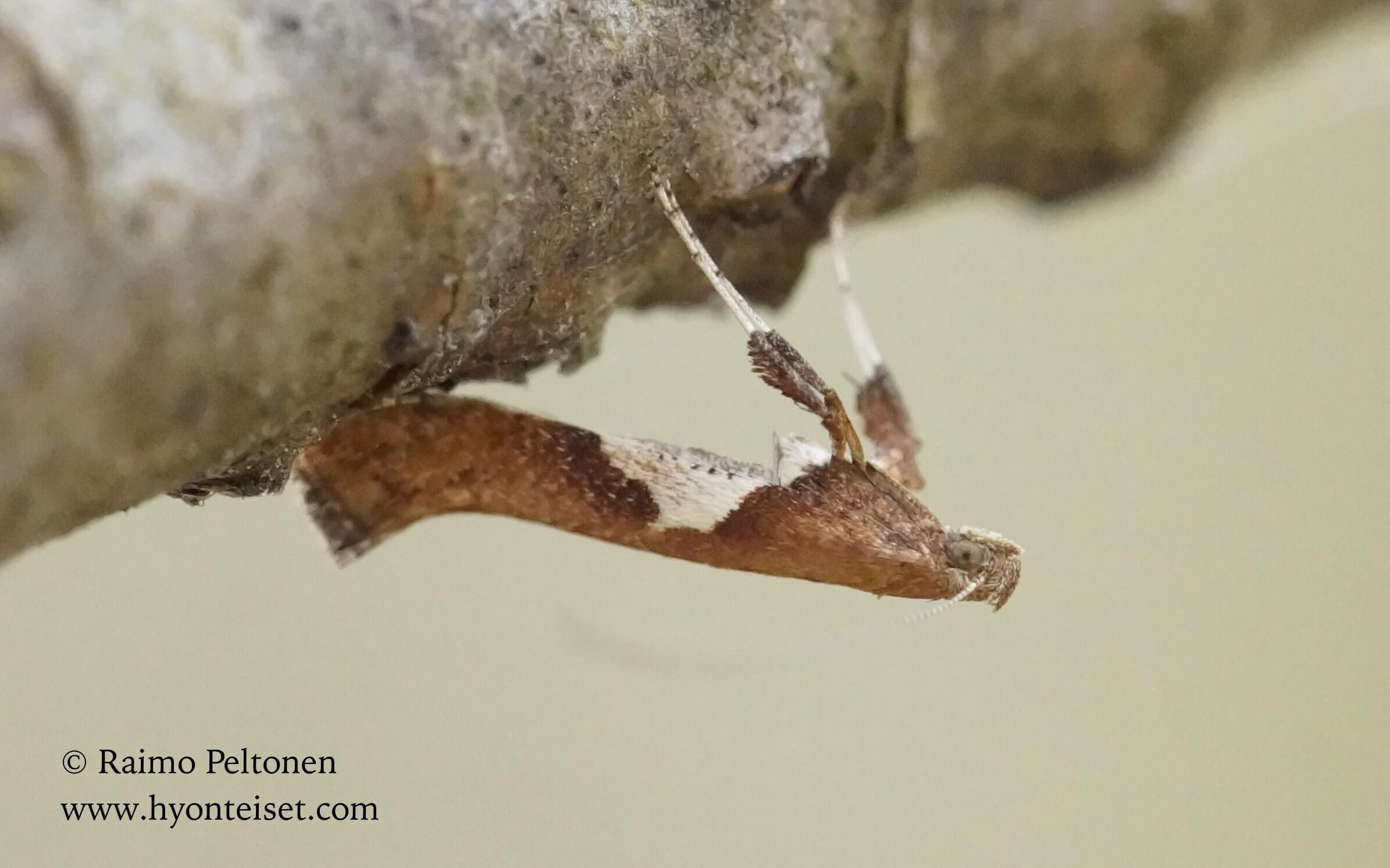 Caloptilia betulicola-koivutikkukoi, 7.5.2016 Jyväskylä