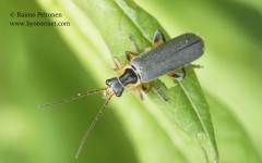 Cantharis nigricans 1