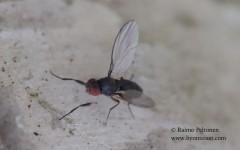 Chymomyza cf. costata