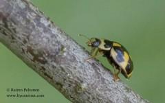 Propylea quatuordecimpunctata 2