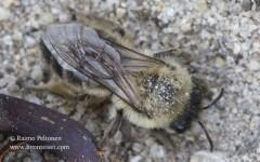 Colletes cunicularius 1