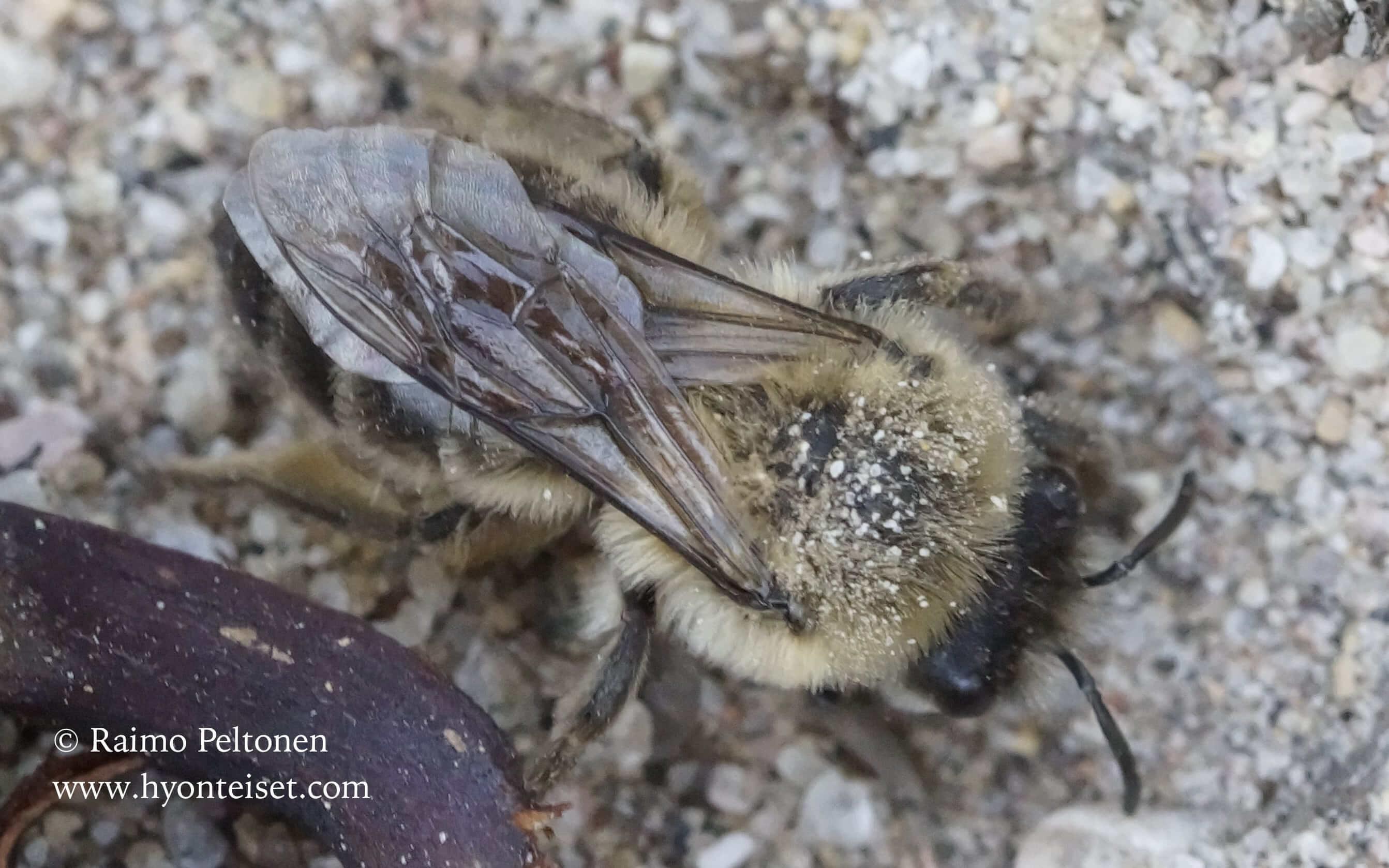 Colletes cunicularius-kevätiskosmehiläinen, naaras (det. Juho Paukkunen), 12.5.2016 Jyväskylä