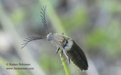 Ctenicera pectinicornis 1