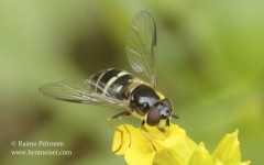 Dasysyrphus tricinctus 2