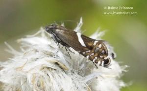 Glyphipterix haworthana