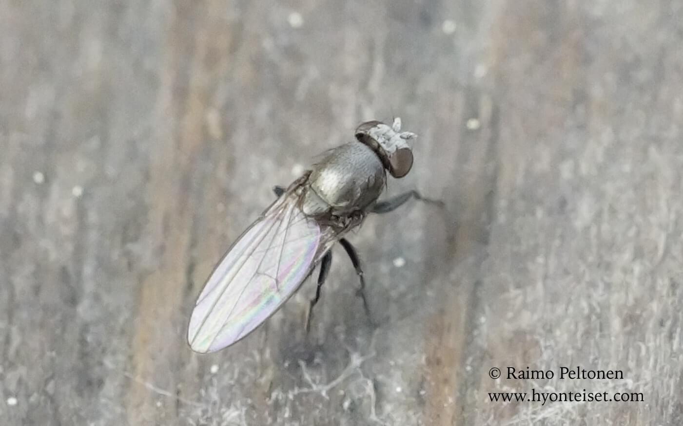 Gymnoclasiopa nigerrima (det. Thadeusz Zatwarnicki), 15.5.2016 Jyväskylä