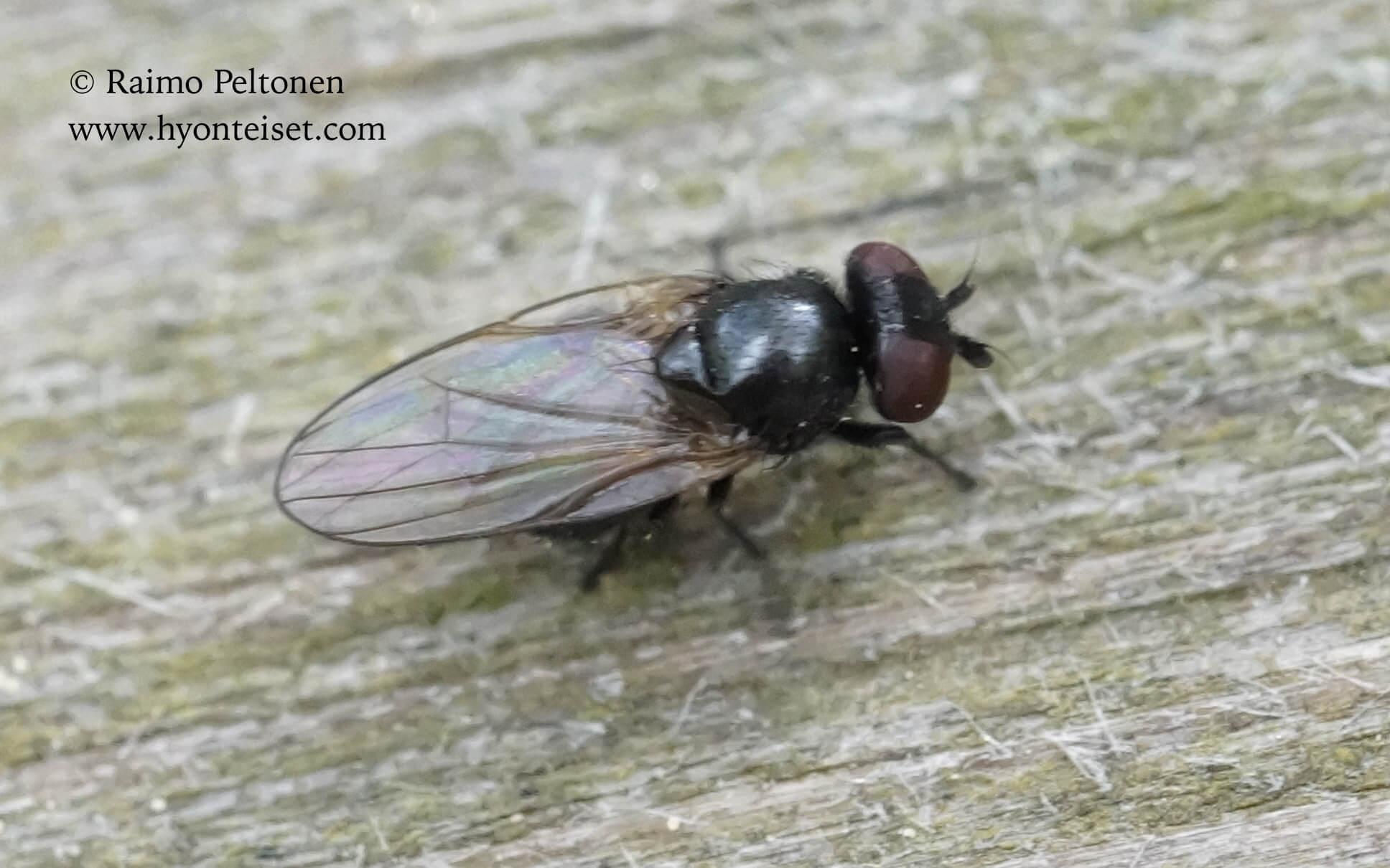 Lonchaeidae sp. (det. Kaj Winqvist), 23.5.2016 Jyväskylä