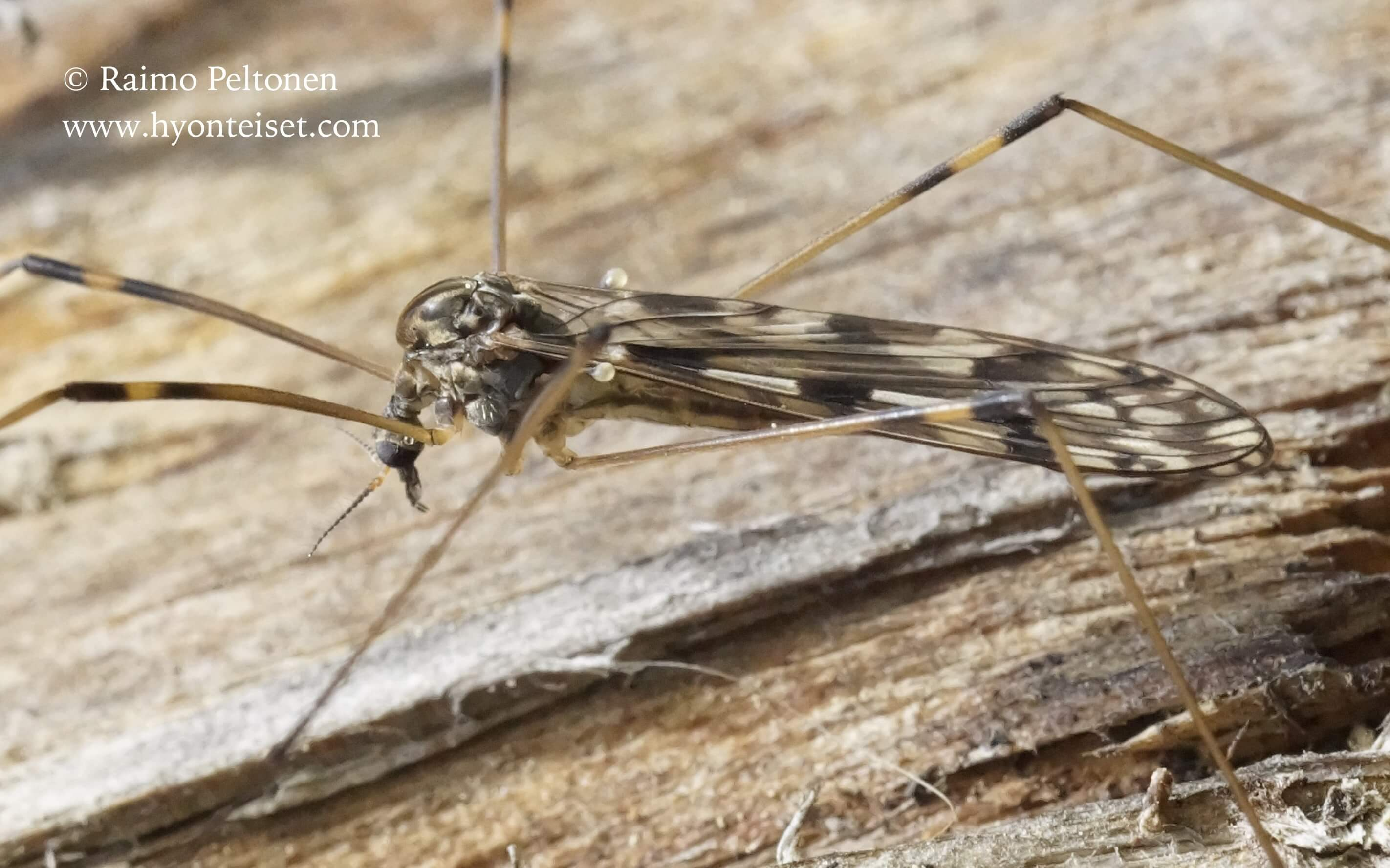 Metalimnobia quadrimaculata (det. Esko Viitanen), 18.5.2016 Jyväskylä