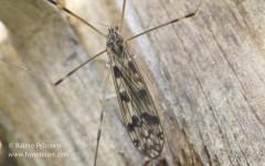 Metalimnobia quadrimaculata 1