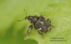 Nedyus quadrimaculatus 1