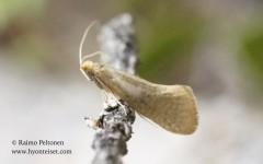 Nematopogon swammerdamellus 2