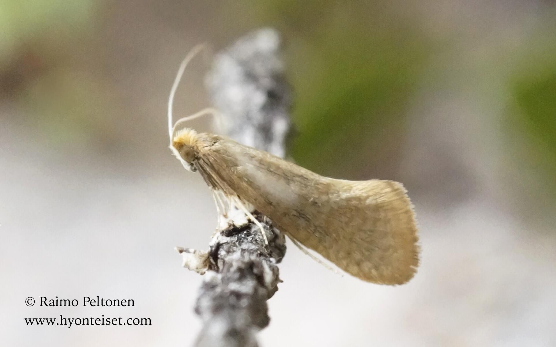 Nematopogon swammerdamellus-isosurviaiskoi (det. Ali Karhu); 18.5.2016 Jyväskylä