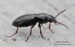 Pterostichus oblongopunctatus 2