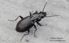 Pterostichus oblongopunctatus 1
