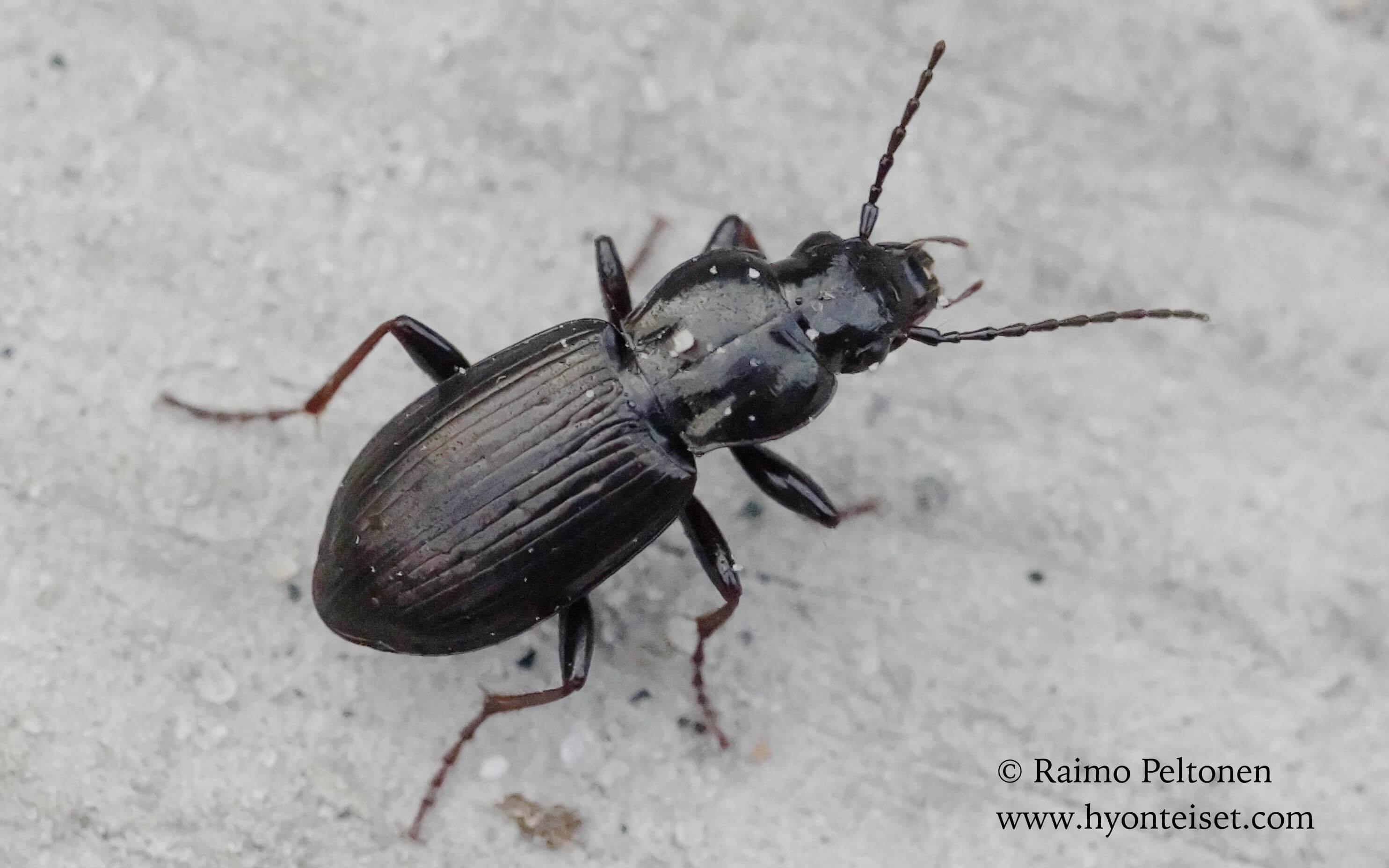 Pterostichus oblongopunctatus (det. Tapio Kujala), 6.5.2016 Patvinsuo