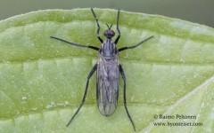 Rhamphomyia crassirostris 1