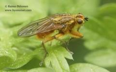 Scathophaga stercoraria 3