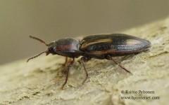 Selatosomus cruciatus 2