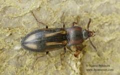 Selatosomus cruciatus 1