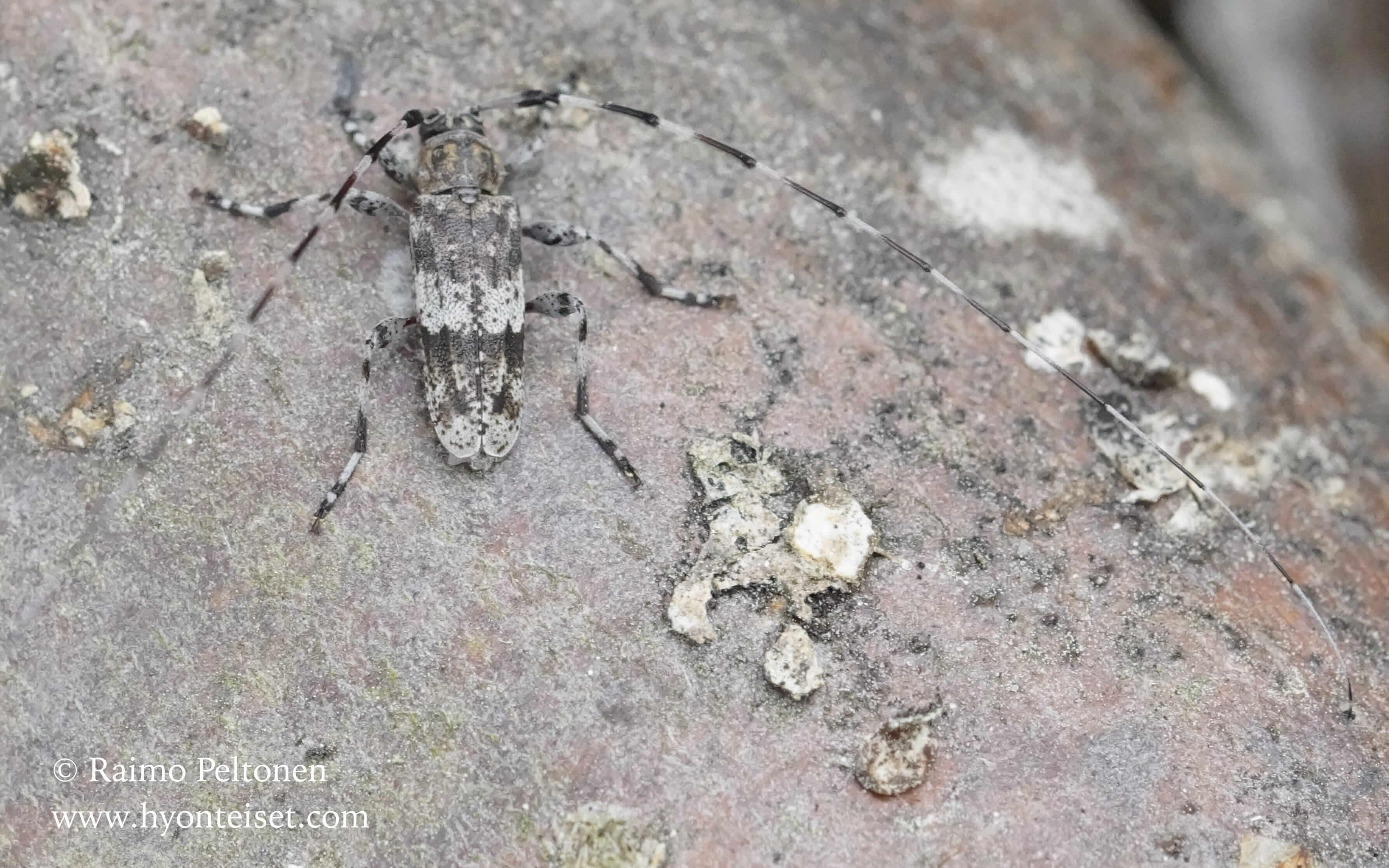 Acanthocinus griseus-pikkujaakko (det. Kari Heliövaara), 7.6.2016 Jyväskylä