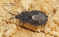 Aradus crenaticollis