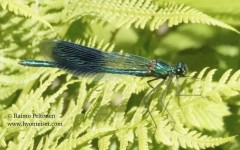 Calopteryx splendens 1