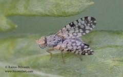 Cambiglossa absinthii 2