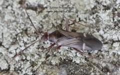 Cremnocephalus albolineatus