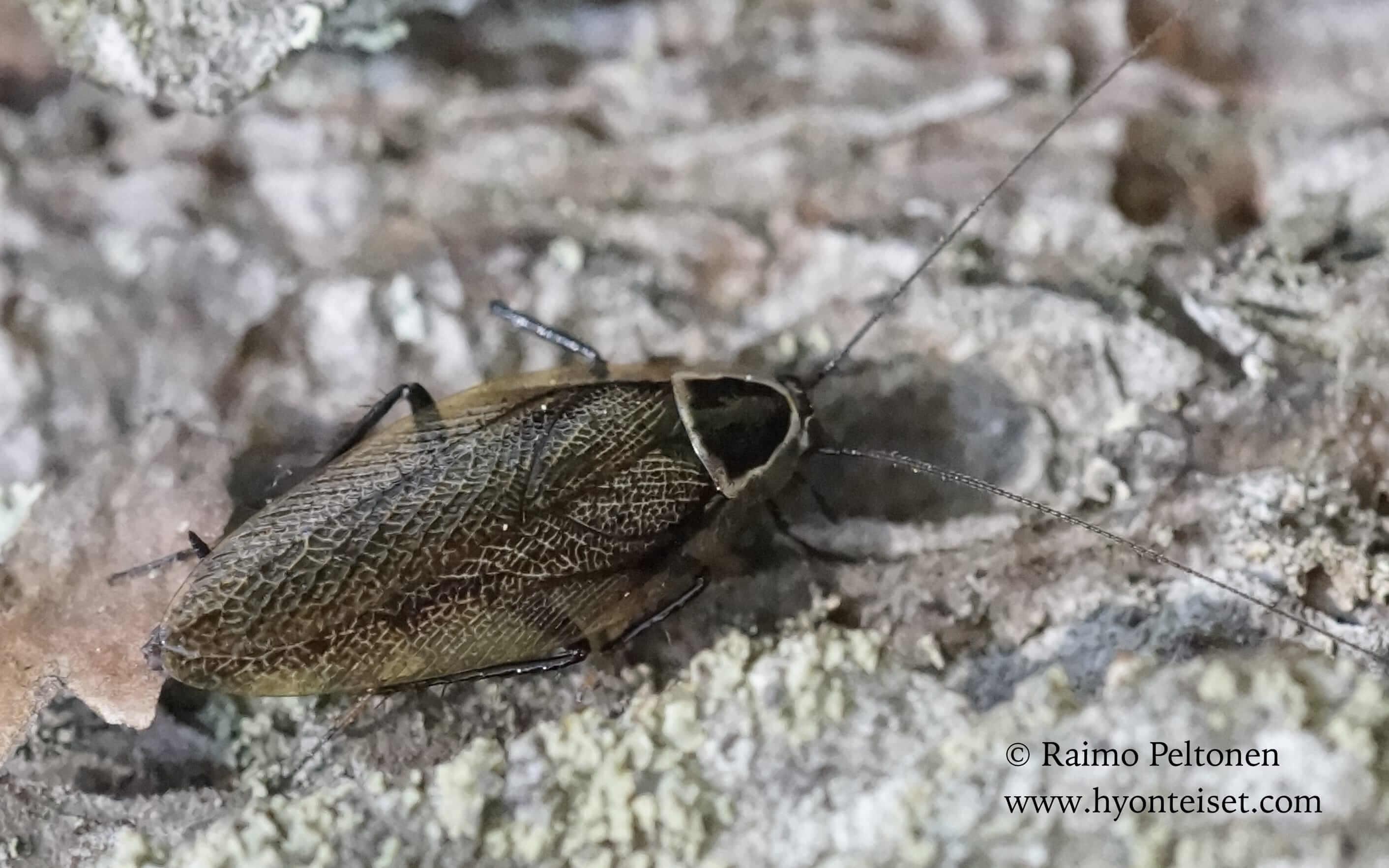 Ectobius sylvestris-metsätorakka, 20.6.2016 Laukaa