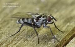 Eustalomyia hilaris 2