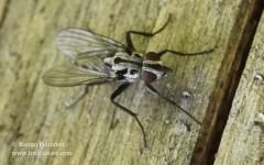 Eustalomyia hilaris 1